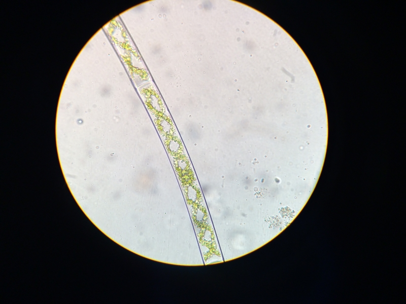Spirogira